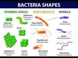 Bacteria Classification Videos Matching Bacteria Classification By Shape Revolvy