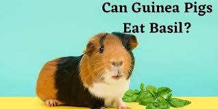 can guinea pigs eat basil herbs as
