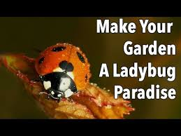 attracting beneficial ladybugs to the