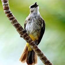 Mewarnai gambar burung kutilang | mewarnai gambar. Kicau Trucukan Juara Gacor For Android Apk Download