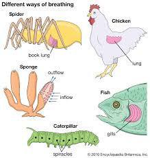Aquatic Animals Chart Respiratory System Definition Organs Function Facts