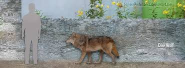 grey wolf size dire wolf facts and pictures