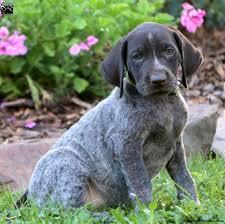 sara german shorthaired pointer puppy