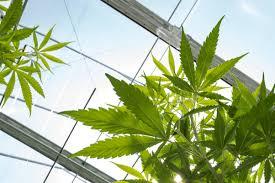 recreational weed