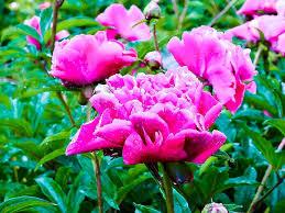 peony pink pink peony spring flower