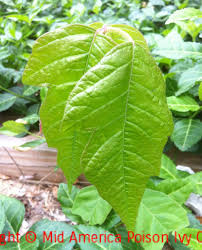 Pictures Of Poison Ivy In Kansas City KS Wichita  Topeka - Mid america exteriors wichita ks