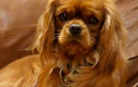 loyal loving akc certified puppy cavalier king charles spaniel puppies michigan