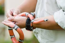 milk snake size milk snake snakes pinterest snake reptiles and amphibians