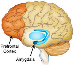 Image result for prefrontal cortex