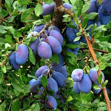 Plum Tree Not Producing Fruit