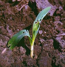Black Cutworm Damage Photo Reference Chart Department Of