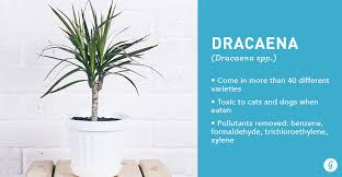 9 easy to care for houseplants that clean the air dracaena best office plants no sunlight