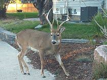 Whitetail Deer Size Chart White Tailed Deer Wikipedia