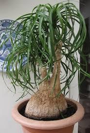 Beaucarnea (Nolina) recurvata