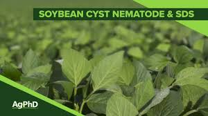 Sudden Death Syndrome Soybean Cyst Nematode From Ag Phd 1092 Air Date 3 10 19