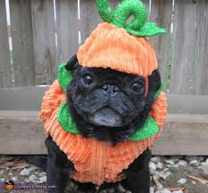 pug in pumpkin costume. Interesting Costume Throughout Pug In Pumpkin Costume Works