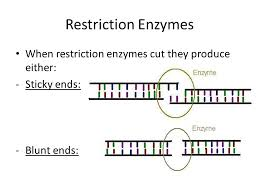 Restriction Enzyme Restriction Enzymes And Gel Electrophoresis Ppt Video Online Download