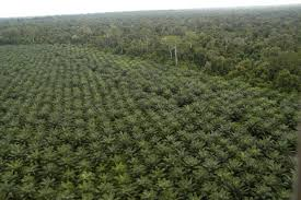 oil palm plantations are clearing native forests and are unsuitable for wildlife