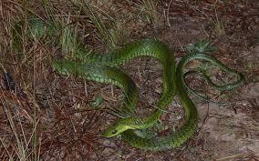 Image result for boomslang snake images