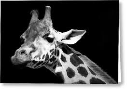 Black And White Greeting Card Black And White Greeting Cards Fine Art America