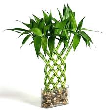 office feng shui plants. simple plants desk plants for office desk indoor singapore detail  grow care buy and feng shui