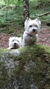 25 best West terrier ideas on Pinterest White terrier West.