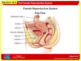 The reproductive system is a collection of internal and external organs — in both males and females — that work together for the purpose of procreating, according to the cleveland clinic. Section 18 3 The Female Reproductive System Objectives Ppt Video Online Download