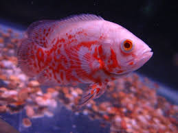 Albino Red Oscar Fish Oscar Fish Fish Aquarium Fish