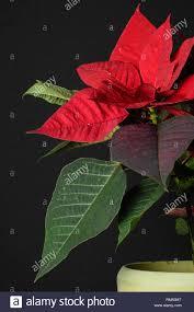 Weihnachtsstern Adventsstern Christstern Poinsettie Stock