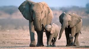 Resultado de imagen de elefantes