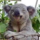 Resultado de imagem para koala imagens