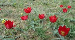 Растения степи Экология Реферат доклад сообщение кратко  Рис 162 Тюльпаны tulipa schrenkii