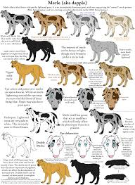 Dog Color Genetics Chart The Merle Coat Color Explained Aussiedoodle And Labradoodle