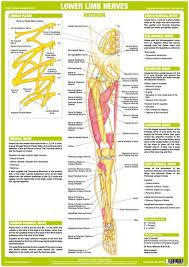 Nerve Chart Leg Lower Limb Nerves Anterior
