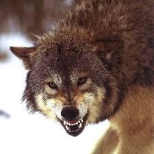 Manada: Guardianes del bosque - Página 9 Images?q=tbn:ANd9GcSpeCrDoakUm1jj78ehrj28gdbw_LSPheJN4XI1mA9TmdHqM3Dq