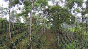 shade grown coffee plantation. Wonderful Grown Flying Through A Shadegrown Organic Coffee Plantation In Ecuador Stock  Video Footage  Videoblocks For Shade Grown Coffee Plantation G