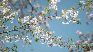 spring blossom branch blossom on stock