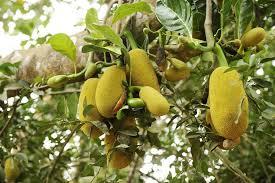 Jamaican Photo Contest 1 EntriesJamaican Fruit Trees