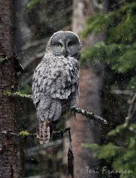 Meet The Largest Owl Species In North America Mnn Mother