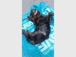a basic post mortem performed on the puppy by spca veterinarian dr carl ne found the following