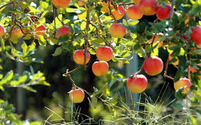 fruit trees wallpapers. Perfect Trees Apples Fruits Fruit Trees Awesome Wallpaper Intended Fruit Trees Wallpapers P