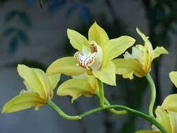 Fiore simile all'orchidea il prezzo si riferisce alla singola piantina. Cymbidium Coltivazione Cure E Consigli Per Un Ottima Fioritura
