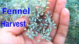 सौंफ की कटाई कैसे करे /How to Harvest Fennel ...