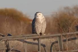 Antshrike's Bird Blog: Snowy Owl at Odessa, TX, 1-25-18