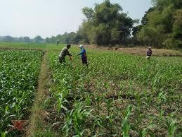 Aplikasi metode pemupukan broadcast incorporated pada tanaman jagung. Babinsa Jantilangkung Bersama Petani Pupuk Tanaman Jagung Xtime