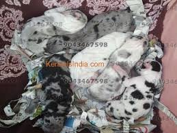 harlequin white and merle great dane puppies for