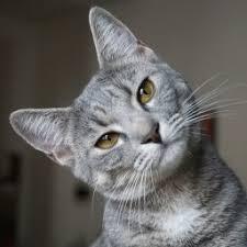 Funny Grey Cat Forum Avatar | Profile Photo - ID: 125899 - Avatar Abyss