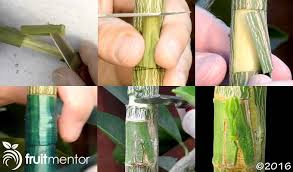 LESCRETS FRUITS ET POMOLOGIE Grafting Fruit TreesHow To Graft Fruit Trees With Pictures