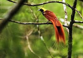 Jenis burung cendrawasih yang satu ini diketahui memiliki 2 jenis. 14 Jenis Burung Cendrawasih Tercantik Suara Gambar Dan Pakan