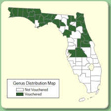 Cerastium - Genus Page - ISB: Atlas of Florida Plants